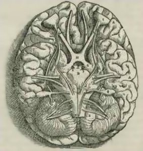 Base of a human brain, from Vesalius' Fabrica, courtesy Wikipedia.