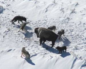 A pack of gray wolves surround a bison, via Wikimedia Commons.  This is how group-think afflicted Christian often act online.